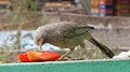 (Turdoides affinis) White headed babbler eating a Papaya slice 01.JPG