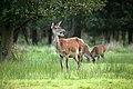 ©RGN Foto Rotwild im Herrental Tiergarten Schloss Raesfeld YU7X5953.jpg