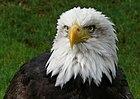 Primer plano de un águila calva