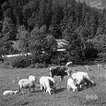 Živina na paši v Spodnjem Doliču 1963 (3).jpg