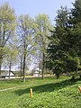 Ёлочки - panoramio (1).jpg