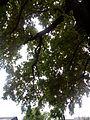Багатовіковий дуб, Прилуцький район, м. Прилуки,вул. Гірняка,11 (напроти Боброва,35) 74-107-5003 11.jpg