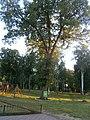 Група вікових дубів, Чернігівська область, Борзна.jpg
