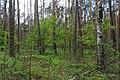 Заказник Баранівський. Баранівське л-во (кв.36, вид.1). Всихаючий сосновий ліс із підростом дуба. 23.05.2019.jpg