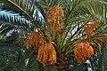 Зреющие плоды финиковой пальмы. Гагра. Абхазия.JPG