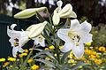 Лилия белоснежная (Lilium L.) (14843491222).jpg