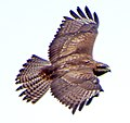 Обыкновенный канюк - Buteo buteo - Common buzzard - Обикновен мишелов - Mäusebussard (32991726080).jpg