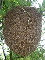 Рој пчела.jpg