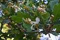 Сирецький гай Дуби, вражені борошнистою росою DSC 0033.jpg
