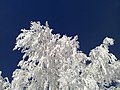Снегодерево на фоне неба - panoramio.jpg