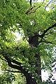 Старый дуб на Студеной.jpg