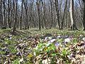 Теребовлянський лес - panoramio.jpg