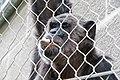 Шимпанзо - Зоо Скопје (2).jpg