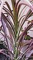 برگ و ساقه گیاه عنکبوتی 06-Chlorophytum comosum,.jpg