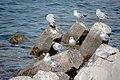 رفتار مرغان دریایی نوروزی یا یاعو در کشور عمان، شهر مسقط، ساحل دریای عمان - عکس مصطفی معراجی 27.jpg
