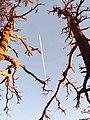 شجرتان شامختان في البرج أم الرخاء -علي النمر -دائرة مروانة - ولاية باتنة.jpg