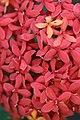 ดอกเข็ม ( Ixora stricta Roxb ) RUBIACEAE (9).jpg
