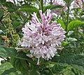 匈牙利丁香 Syringa josikaea -巴黎植物園 Jardin des Plantes, Paris- (9173505392).jpg