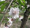 垂枝大葉早櫻 Cerasus subhirtella v pendula -上海辰山植物園 Shanghai Chenshan Botanical Garden- (17057940848).jpg