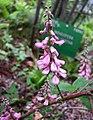 多花木藍 Indigofera amblyantha -哥本哈根大學植物園 Copenhagen University Botanical Garden- (36518762840).jpg