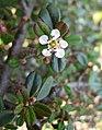小葉栒子 Cotoneaster microphyllus 'Streib's Findling' -上海辰山植物園 Shanghai Chenshan Botanical Garden- (17289556185).jpg