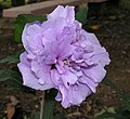 木槿(佛桑)-重瓣 Hibiscus syriacus -香港雲泉仙館 Ping Che, Hong Kong- (14924742296).jpg