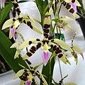 樹蘭屬 Epidendrum prismatocarpum -香港青松觀蘭花展 Tuen Mun, Hong Kong- (26161979524).jpg