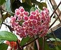 毬蘭 Hoya carnosa 'Shocking Pink' -紐西蘭 Tauranga Robbins Park, New Zealand- (46586581121).jpg