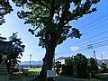 江島神社の大クスノキ - panoramio.jpg