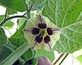 燈籠果 Physalis peruviana -比利時國家植物園 Belgium National Botanic Garden- (9213324687).jpg