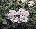 琴爪菊 Oscularia deltoides (Lampranthus deltoides) -比利時國家植物園 Belgium National Botanic Garden- (15000435458).jpg