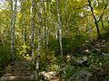 白桦林 - Birch Trees - 2012.09 - panoramio.jpg
