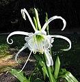 白花秘魯蜘蛛百合 Hymenocallis x festalis -維也納大學植物園 Vienna University Botanical Garden- (28484694436).jpg