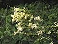 白花錐常山 Clerodendrum paniculatum f albiflorum -台北植物園 Taipei Botanical Garden- (9240148824).jpg