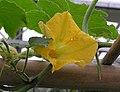 筍瓜(北瓜) Cucurbita maxima -北京花卉大觀園 The World Flower Garden, Beijing- (9216085372).jpg