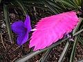 紫花鳳梨 Tillandsia cyanea -香港公園 Hong Kong Park- (9198148033).jpg