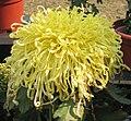菊花-唐宇默默 Chrysanthemum morifolium -中山小欖菊花會 Xiaolan Chrysanthemum Show, China- (11961617824).jpg