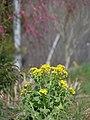 菜の花と梅の花 2013.3.17 - panoramio.jpg