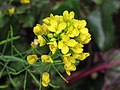 菜心 Brassica campestris v parachinensis -香港花展 Hong Kong Flower Show- (9213339539).jpg