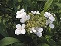 華八仙(中國繡球) Hydrangea chinensis -台北國父紀念館 Taipei, Taiwan- (9240253564).jpg