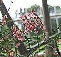 葉下珠屬 Phyllanthus mimosoides -比利時國家植物園 Belgium National Botanic Garden- (9159963212).jpg