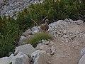 雷鳥 2013-08-15 - Monta lagopo - Rock Ptarmigan - panoramio.jpg