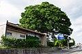 飯田市役所前の大ケヤキ Japanese zelkova tree in front of Iida City Office 2014.9.09 - panoramio.jpg