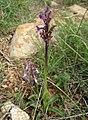 04-07 St Simon 24 Orchis syriaca pl (3762801888).jpg