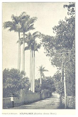 Wildlife of Bermuda - Oreodoxa oleracea in an 1895 photo
