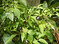 0998Ornamental plants in the Philippines 27.jpg