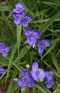0 Tradescantia occidentalis - Samoëns (2).JPG