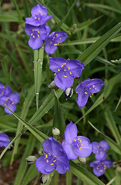 alt=Description de l'image 0 Tradescantia occidentalis - Samoëns (2).JPG.