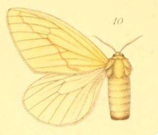 <i>Crorema</i> Genus of moths