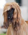 111 AKC Afghan Hound Dog Show 2011.jpg
